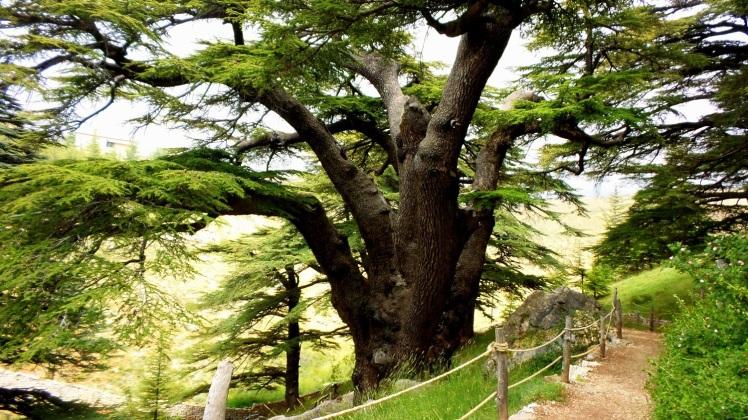 cedro-de-salomon-arbol-nacional-que-aparece-en-la-bandera-del-libano-2