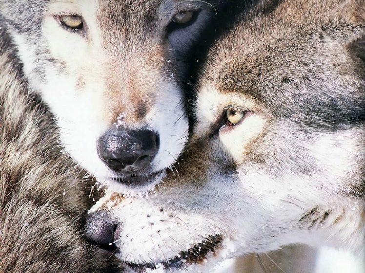 imagenes-lobos-grises